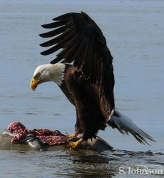 Bald Eagle feeding on dead seal. Bald Eagle, Landing, Canada, Birds, Island, Prints, Pictures, Photography, Block Island