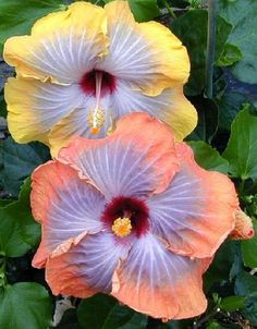 """Hidden Valley Hibiscus......""""Fifth Dimension"""" twins, two separate colours ...."""