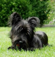 Skye Terrier Skye Terrier, Most Beautiful Dog Breeds, Beautiful Dogs, Animals Beautiful, Beautiful Things, Terrier Breeds, Terrier Dogs, Cairn Terriers, Scottish Terriers
