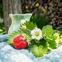 Frisch gepflückte Erdbeere aus dem Garten. Strawberry, Fruit, Food, Strawberry Cakes, Strawberries, Fresh, Lawn And Garden, Essen, Strawberry Fruit