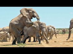 Not a new story but worth watching again and again! So amazingly touching - the story of Shirley and Jenny, two crippled elephants reunited at The Elephant S...