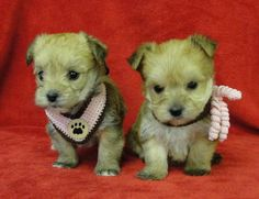 This picture is for you Julia, MORKIE puppies & YORKIE POO puppies, aren't they just the cutest little things!
