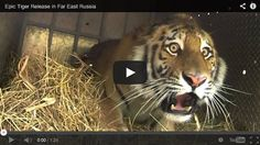 Epic tiger release in Far East Russia video