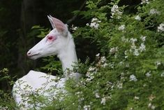 """celtic-forest-faerie: """" {Albino Deer} by {Doug Day} """" Nature Animals, Zoo Animals, Cute Animals, Wild Animals, Albino Deer, Half Drow, Flowering Bushes, Oh Deer, All Gods Creatures"""