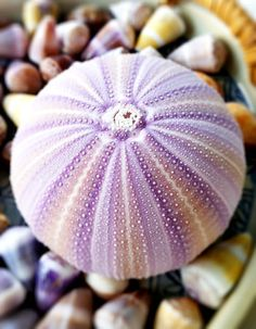 Amazing purple sea urchin