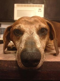 Ceaser- SC. Sweet red smooth dachshund available for adoption with Furever Dachshund Rescue.
