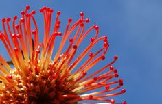 The Cape's proteas – Blog – South African Tourism
