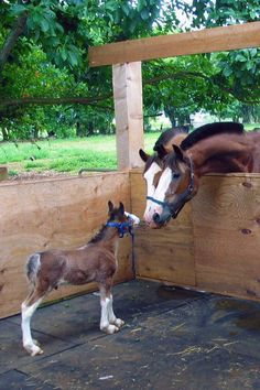 Baby Clydesdale Horse