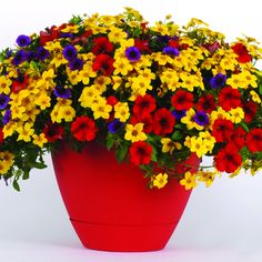 Trixi La Bomba multiliner. Calibrachoa MiniFamous Royal Blue, Bidens Namid Early Yellow, Petunia Fame Fire