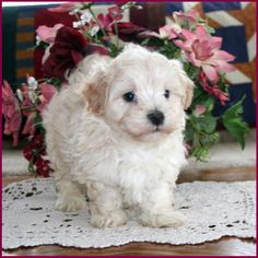 Elise's Maltipoo puppies from the puppy specialists of mixed breed puppies. We are dog breeders raising happy, healthy puppies. Mixed Breed Puppies, Maltipoo Puppies For Sale, Best Small Dogs, Tiny Dog Breeds, Dog Breeders, Schnauzer Puppy, Poodle Mix, Maltese Dogs, Adorable Animals
