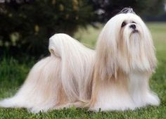 The Lhasa Apso originates  from Tibet and was bred originally as a Monastery watchdog and Companion.  It's origins can be dated back to antiquity.
