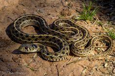 Checkered garter snake(Thamnophis marcianus)