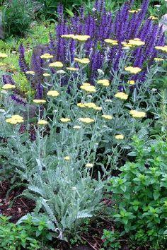 In my garden Geranium Rozanne, Alchemilla Mollis, Salvia, Geraniums, Daisy, Night, Garden, Plants, Garten