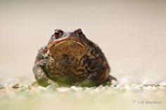 Common or European Toad (Bufo bufo, gewone pad)
