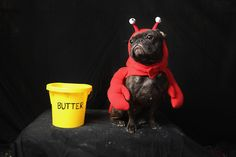 A Lobster: Frenchie Enzo was happy to wear the lobster costume but seemed understandably quite wary of the bucket of drawn butter beside him.