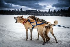 The Boundary Waters in winter is a place of wonder and excitement. Dog sledding is a must try activity!