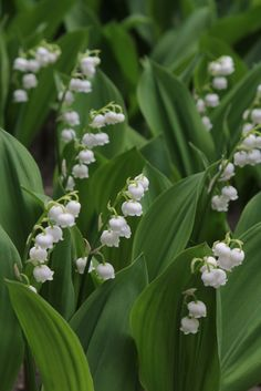 convallaria majalis Lily-of-the-Valley (Muguet) May Flowers, White Flowers, Beautiful Flowers, Nature Plants, Garden Plants, Outdoor Plants, Outdoor Gardens, Lily Of The Valley Bouquet, Moon Garden