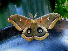 """Polyphemus Moth (Antheraea-polyphemus).                    (""""Polyphemus Moth - Pixdaus."""")"""
