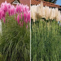 Pampasgras Rosea / Silber - als Kübelpflanze und Sichtschutz geeignet