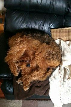 A Welsh Terrier Dog's sleeping position.