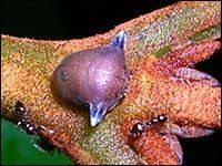 A treehopper from the genus Adippe histrio.