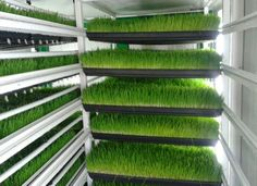 Hydroponic Green Fodder:Green fodder is one of the important inputs and plays major role in feed of milch animals. Green fodder provides required nutrients