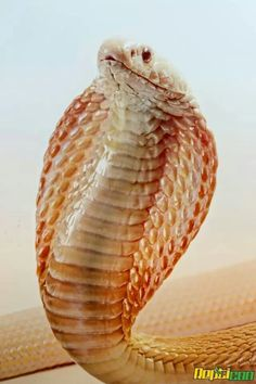 Is an albino cobra poisonous?