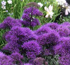 Trachelium Dark Purple