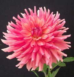 Dahlia 'Juul's Amber': semi-cactus