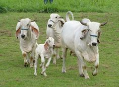Desi Cows (Indian). Also called Gau