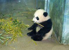 Panda cub Bei Bei at Smithsonian's National Zoo (photos taken Wednesday, February Panda Bebe, Red Panda, Cute Panda, Animals And Pets, Baby Animals, Cute Animals, Wild Animals, Baby Panda Bears, Baby Pandas