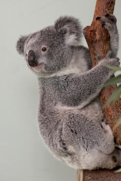 Koala Bear in a tree. Australian Koala Bear hanging on to a tree , Nature Animals, Animals And Pets, Baby Animals, Wild Animals, Baby Giraffes, Australia Animals, Baby Otters, Bear Art, Savages