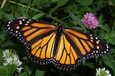 Monarch butterflies are recognizable by their orange and black wings.They are about 2 inches long, and from 3.5 to 5 ins. wingspread.Monarch butterflies are found throughout the United States. In Illinois they are commonly found from May through October.They winter in the mountains of central Mexico,and migrate northward in the spring.They lay eggs on milkweed plants.The eggs hatch, the larva eat the leaves of the milkweed, and an adult emerges from the chrysalis, all in about 20 to 33 days.
