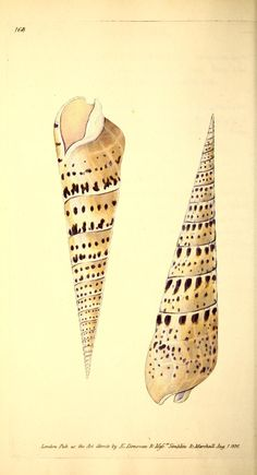 - The Naturalist& repository, or, Monthly miscellany of exotic natural history & - Biodiversity Heritage Library Antique Illustration, Nature Illustration, Botanical Illustration, Seashell Painting, Seashell Art, Shell Drawing, Illustration Botanique, Natural Curiosities, Nature Prints