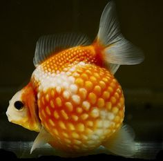 Exotic Goldfish - Pearlscale Goldfish adult fish. I think they're great look like a golf ball