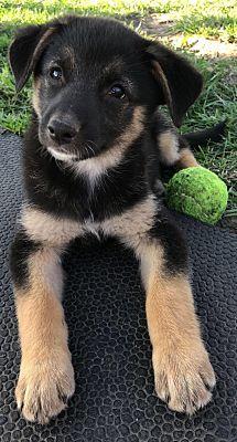 Kansas City Mo Shiba Inu Meet Lola A Dog For Adoption Shiba Inu