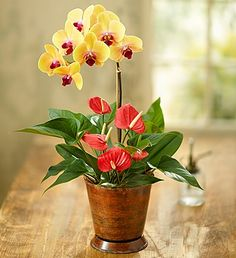 Bring the exotic beauty of this beautiful Phalaenopsis #orchid to your home or office!