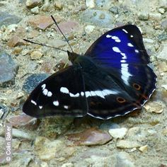 Purple Emperor - Butterfly Conservation - Hampshire and Isle of Wight Branch    http://www.hantsiow-butterflies.org.uk/butterflies/purple_emperor/purple_emperor.htm