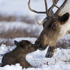 Funny pictures about Baby reindeer. Oh, and cool pics about Baby reindeer. Also, Baby reindeer photos.