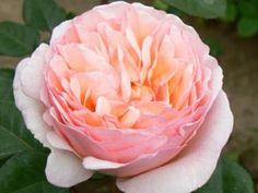 Princess Charlene of Monaco: In keeping with their tradition of naming roses after Monaco royalty, Meilland has re-named Haiku Perfumella as Princess Charlene. It is a lovely peachy and pink rose, that opens to a disheveled deep cup shape and has a strang citrusy fragrance!