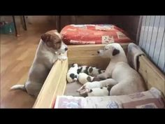 Funny Jack Russell Terrier 2017 #4 - YouTube
