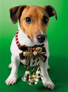 images of christmas jack russells | Jack Russell Terrier Christmas Cards Parson Russell Terrier Christmas ...