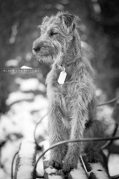 Irish terrier Maxwell