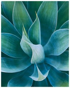 Photographed in California, this agave succulent plant exudes calm tones of blue and green and dynamic shapes. Cactus Painting, Plant Painting, Plant Drawing, Planting Succulents, Planting Flowers, Succulent Planters, Succulent Arrangements, Cactus Plants, Cacti Garden