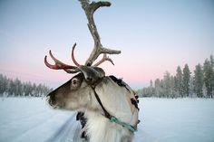 'Lapland Reindeer' by Trifle Lapland Holidays, Arctic Circle, Reno, Animals Of The World, Christmas Traditions, Pet Birds, Animals Beautiful, Mammals, Winter Wonderland