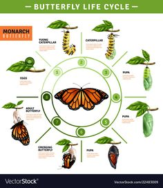 Buy Butterfly Life Cycle Infographics by macrovector on GraphicRiver. Butterfly life cycle infographics layout illustrated developing stage of monarch species from eggs to emerging vector. Kids Science Museum, Science For Kids, Science And Nature, Butterfly Pupa, Monarch Butterfly, Butterfly Kids, Butterfly Crafts, Butterfly Metamorphosis, Science Worksheets