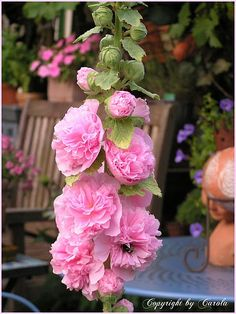 pink filled hollyhocks