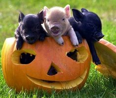 Vail, CO Teacup Pigs are available. Pocket-sized teacup pigs of Vail, Colorado make great pets. Get your teacup pigs in Vail CO today. Baby Animals, Funny Animals, Cute Animals, Pictures Of Turtles, Premier Halloween, Teacup Piglets, Miniature Pigs, Mini Pigs, Cute Piggies
