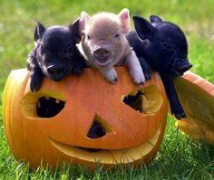 Cute pigs in pumpkin