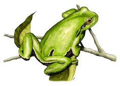 European Tree Frog by artist Roger Hall. Giclee prints, art prints, animal art, frog art, Hyla arborea; from an original pen and ink drawing